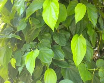 Betel piper plant Piperaceae