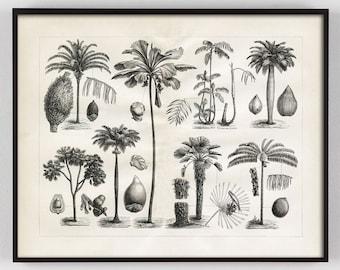 Vintage Palm Print Botanical Specimens 1800s Antique Black and white Illustration of Palm Varieties Home Decor