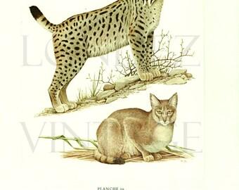 Lynx print 1970 Vintage lynx art Jungle cat art Cat decor Cat art Wildcat art Endangered species art Mammals print Wildlife art