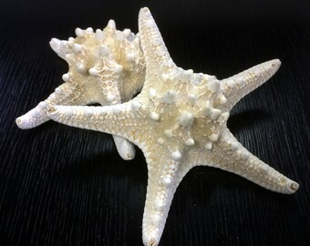 """Large 2 pieces Knobby Starfish Off White, Approximately 5"""" to 6"""" - Protorester Nodosus (VFSF01/05WT)"""