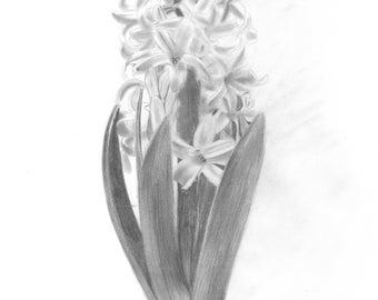 Hyacinth Flower Drawing