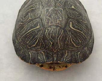 Real Turtle Shell - Female Red Eared Slider - 6 - 7 inch Long