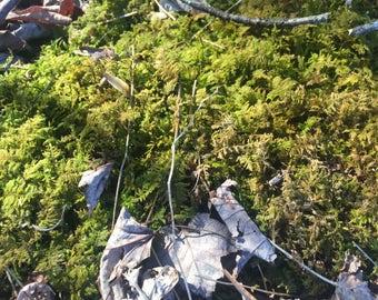 Gallon Bag Live Fern Moss Scraps for Moist Shady Walkways & Small Terrariums
