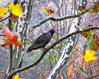 Nature Photography 8x10 Turkey Vulture in a Rainy Sycamore Tree - Goth Autumn Fall Foliage Wildlife Bird Animal Color Rustic Gothic Print