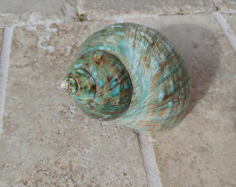 Turbo Shell -  Jade Turbo Shell - Natural Turbo - Polished Jade Seashell - Polished Jade Turbo - Pearlized Shell - No. 207
