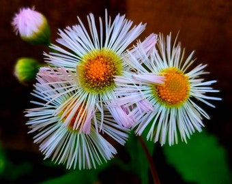 Fleabane Daisy, Wall Art, Nature Photography Print, Stock Photo, Digital Image, Spring, Flowers, Digital Download