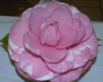 Camellia japonica 'Brother Rose'
