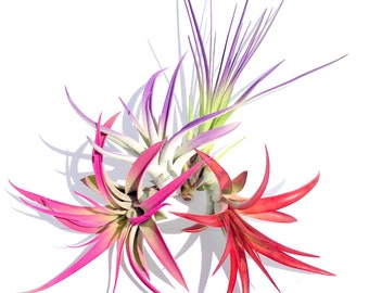 Air Plant Fun Pack Mix of 16 Plants