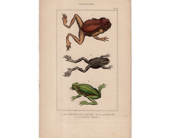 1830 ANTIQUE FROG ENGRAVING original antique hand colored print amphibian frogs