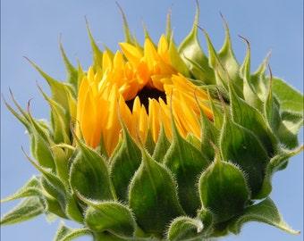 Beautiful Sunflower Fine Art Print - Archival 182