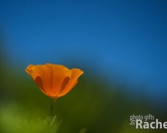 Spring Poppy. Photo of a california poppy. Flowers, orange, grass, sky, blue, green, simple.
