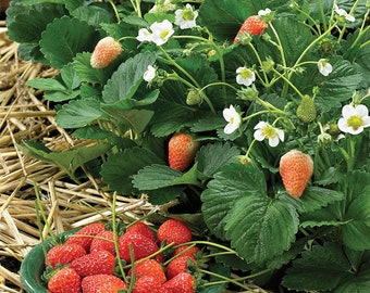 630 Giant Strawberry Seed (M)