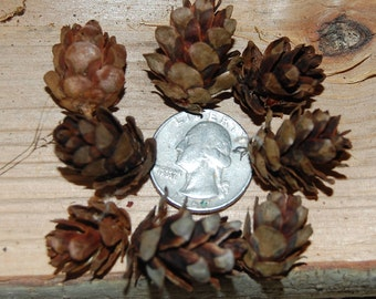 100 Western Hemlock Cones, Small Pinecones, Rustic Wedding, Craft Pine Cones, Christmas Decor