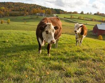 Cows photography,  Jenne Farm, Reading, Vermont, Farm Decor, Farm Art, farm photography, cow decor, cow art, cow photo, vermont art,