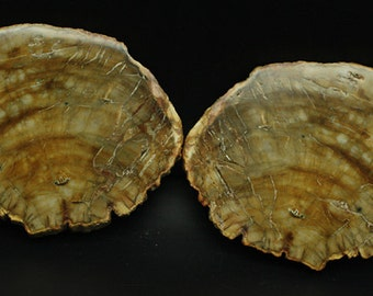 Petrified Wood Polished Tree slice Matched Pair  - Mineral Specimen for Sale