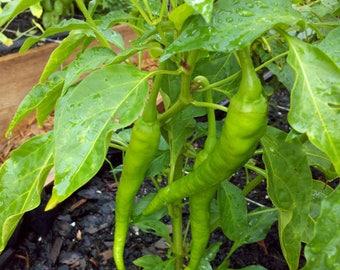Cowhorn Hot Pepper Organic Live Plant