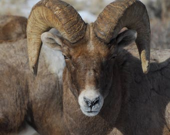 Big Horn Sheep in Dubois Wyoming