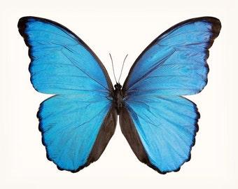 Blue Morpho Butterfly Print, Wall Art, Fine Art Photograph, Butterfly Art, Blue Butterfly Photography Print