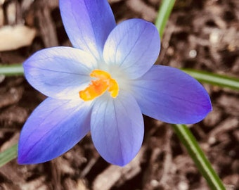 Les Fleurs #38 Crocus Photograph