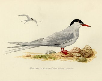 Vintage lithograph of the Arctic tern from 1953