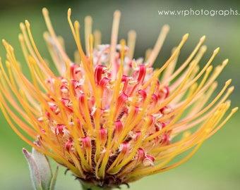 Fine art photography, home decor, fine art print, wall art, metal print, photography, flower photography