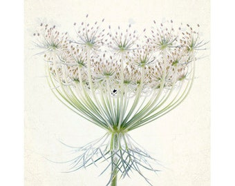 Queen Anne's Lace Photograph, White Wall Decor,  Floral Art Print, Shabby Chic Home, Cottage Chic