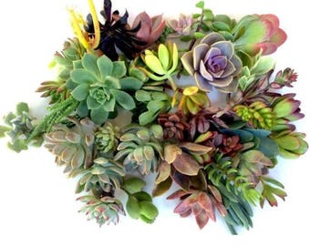 50 succulent cuttings succulent clippings mixed succulent clippings succulent kit succulent plant cuttings