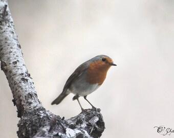 NewShopSale «Rouge-gorge» photographie d'art - oiseaux nature Noël cadeau décoration rouge rouille b & w 10 x 10 12 x 16 12 x 18 16x24