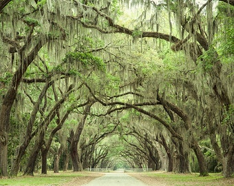 Live Oaks Photograph, Oak Tree Print, Fine Art Landscape Photography, Southern Wall Art, Oak Alley, Savannah Georgia, Affordable Home Decor