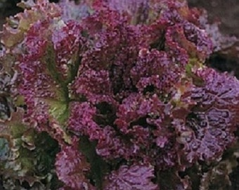 500 Seeds Red Fire Lettuce Seeds