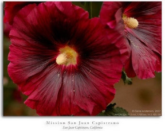 35 Old Fashioned Giant Scarlet Red Hollyhock Flower Seeds / Perennial