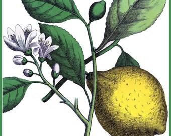 Kitchen Art Lemons Food Poster 1890 - Print