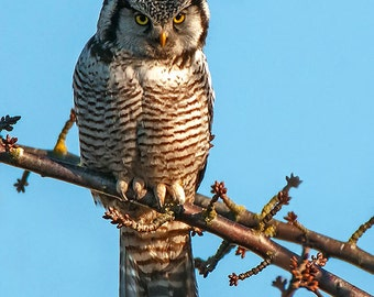 Nature Photo, Northern Hawk Owl, Wildlife Image, Nature Photography