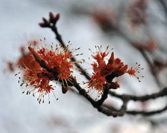 Maple Blossom, Maple Tree, Flower Photograph, Nova Scotia, Nature Photo, Digital Download, Spring Photography, Commercial Use, Flower Art