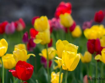 Field of Flowers Tulip Photography, Yellow Red Purple, Flower Art Photo, Spring Blossoms, Bright Color Kitchen Art,  Wall Art Print