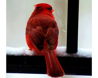 Autumn, Fall, Nature Photography, Red, Black, White, Cardinal, Bird Photo, Portrait, Animal Picture 5x5 Inch Print Cardinal in the Snow