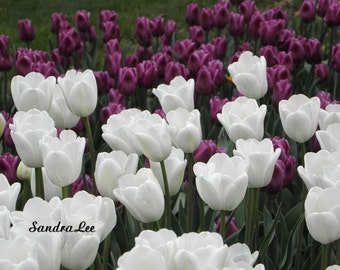 Fine Art Photo White Tulips Signed 8 X 10