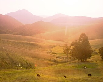 Grazing Cows Farm Print // Farmhouse Print // Large Wall Art Farm Decor // Cow Farm // Landscape Photography // California Sunset Print