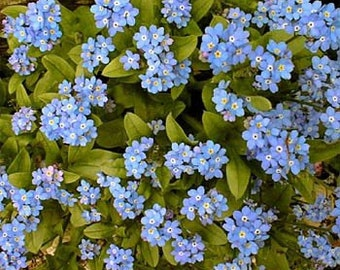 Blue Forget-Me-Not Flower Seeds/Myosotis Sylvatica/Perennial  100+