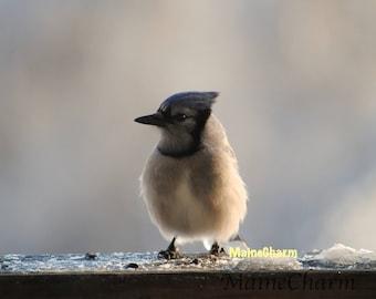 Baby Bluejay, Maine Photography, Bird Photography, Bird Art, Nature Photography