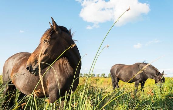 Grazing Horses,horse art,equine art,horse prints,Dorset pictures,limited edition print