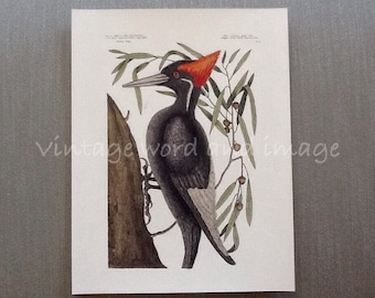 Ivory Billed Woodpecker Art Print Vintage Lithograph Mark Catesby American Bird Beach House Home Office Wall Decor Probably Extinct