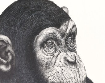 The Chimp graphite drawing - Limited Edition Print- Wildlife Series #3 -  fine art