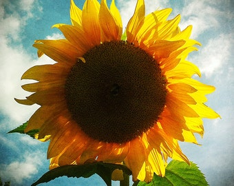 Sunflower photo, summer decor, country decor, cottage decor, sunflower art, yellow, sunny, teal, kitchen decor