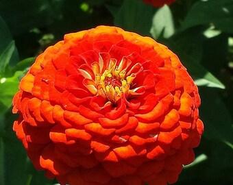 Brilliant orange zinnia flower photograph