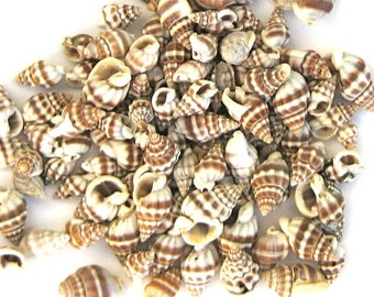 Seashells - Nassarius Seashells - 1/2 cup - approx. 120 - brown ivory sea shells craft shells