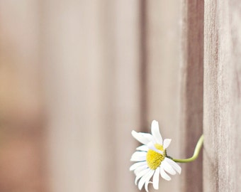 peeking daisy through the fence-flower photography - flower photo- cottage garden - Original fine art photography prints - FREE Shipping