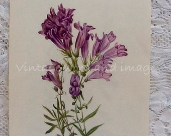 Lyalls Fire Penstemon Art Print 1953 Vintage Botanical Lithograph Home Office Wall Decor Wild Flowers Walcott Book Plate Purple Beardtongue