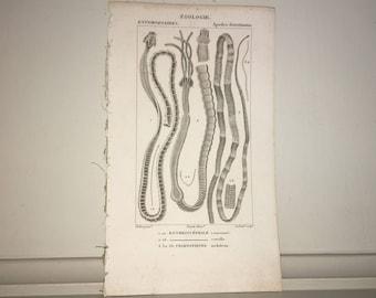c. 1816 TAPE WORMS PRINT - antique marine animal print - ocean life engraving by Turpin - Marine biology - microscopic sea life