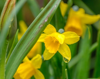 """Fine Art Photography Print, Flower Photography, Yellow Daffodil with dew drops, Nature Photography, """"Rise and Shine"""""""